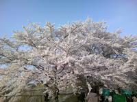 2009年桜.JPG