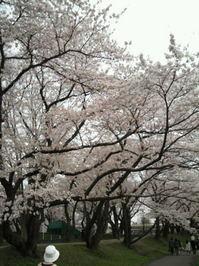 桜0502-1.JPG